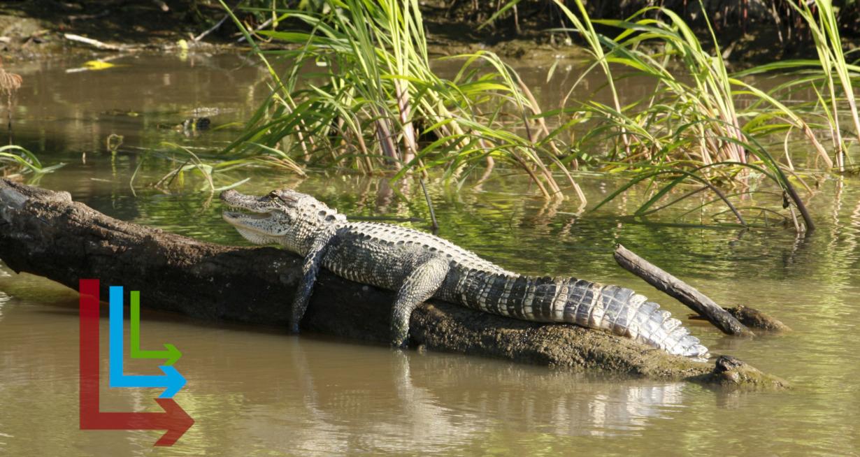 Alligator sunning on a log