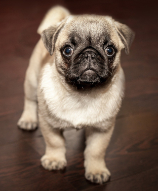 A puppy pug looking at the camera in a way that seems to indicate he wants a treat